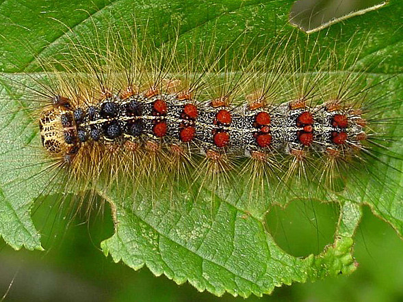Illinois resident Asked To Be On The Lookout For Destructive Gypsy Moths