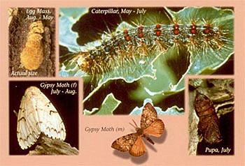 is responsible for millions of acres of defoliation annually. Although gypsy moths are capable of feeding on over 500 different species of trees and plants, they prefer oak trees. Although it usually takes more than one year of defoliation before trees die, conifers that are defoliated may be killed after a single season of defoliation.Gypsy moth has one generation per year, and includes egg, caterpillar, pupae and adult stages